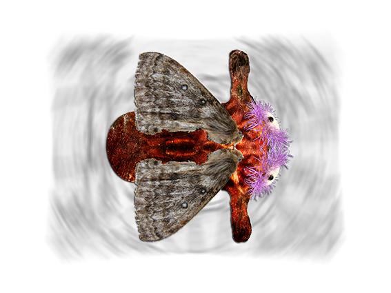 Zanclognatha galactica
