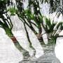 Pauciflora-Ile-de-la-cite