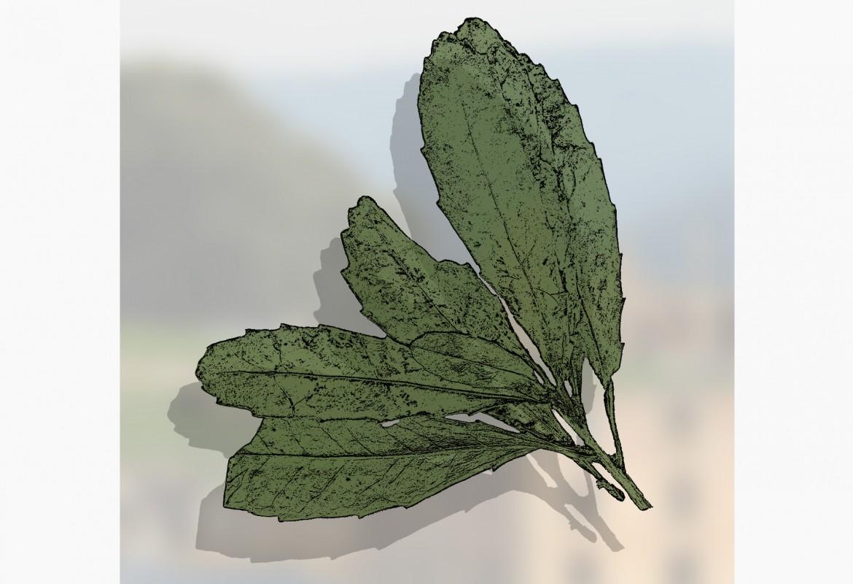 Cenarrhenes nitida - port arthur plum