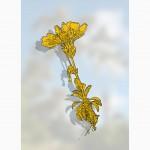 Gentianella diemensis - ben lomond snow gentian