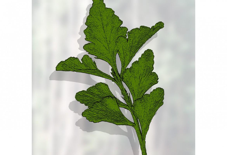 Phyllocladus asplenifolius - celery top pine