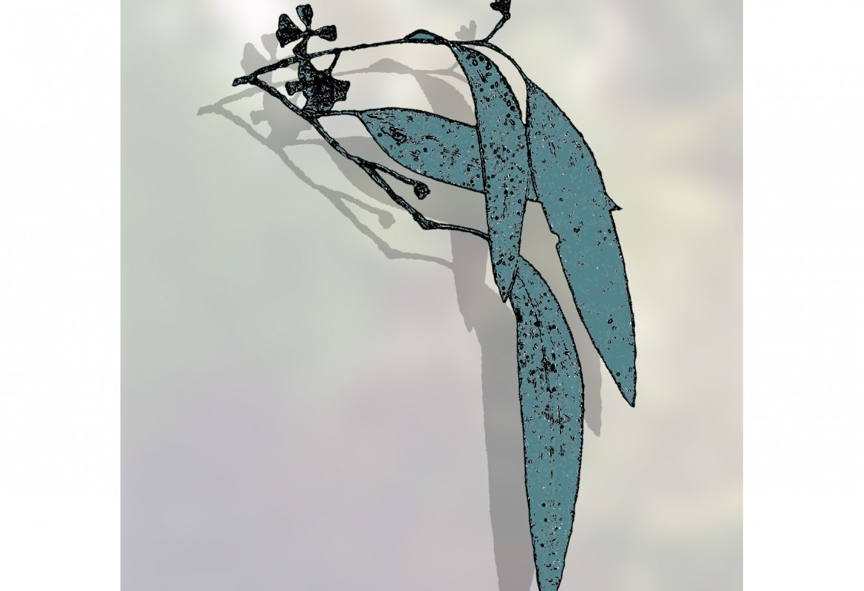 Eucalypt pauciflora - snow gum